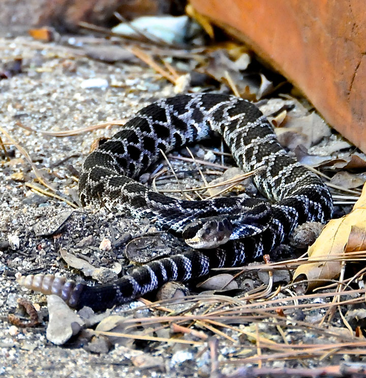 """Careena Chase almost stepped on this rattlesnake while watering her garden late afternoon Thursday, July 24. """"I had turned around and was backing up trying to get my hose loose — thank God the hose stayed stuck,"""" Chase wrote in an email. The snake was 2 feet away from her. """"He did not rattle until he moved up against the house and then rattled for only a moment."""" Photo by Careena Chase"""