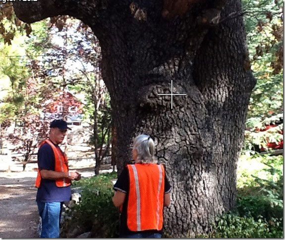 "Edwina Scott, executive director of the Mountain Communities Fire Safe Council, was happy to share this photo of a local black oak and the cooperation from the community. ""Here is an old black oak that has died and has the diagnostic D-shaped exit holes of the adult Golden-spotted oak borer. Note the dead, brown leaves still attached to the lower branches. This tree was reported to [the MCFSC GSOB team] first, by Steve Taylor, a representative of the Realtors, as well as by Janice Fast, a member of the Woodies. Thanks to their vigilance, this tree has been reported to MCFSC who will report it to Cal Fire and the scientists at UCR who will then contact the property owner again with the results and together decide how to most safely deal with the suspect, infested, dead tree,"" wrote photographer Doris Lombard.    Photo by Doris Lombard"