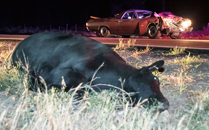 Craig Bryant, of El Cajon, was traveling westbound in his 1972 El Camino on Highway 74 near Lake Hemet around 10 p.m. Sunday when he hit a cow that was trotting toward him heading eastbound in the middle of the highway. Bryant attempted to miss the cow. The cow walked off the highway before collapsing, dying not long after. Bryant was uninjured in the incident. Photo by Jenny Kirchner