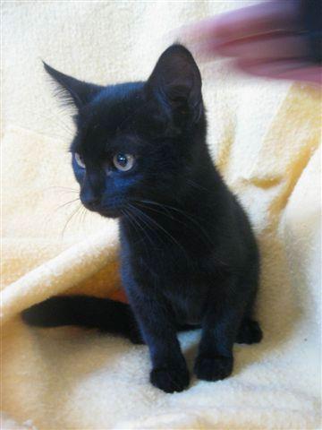 critters-black-kitten-1