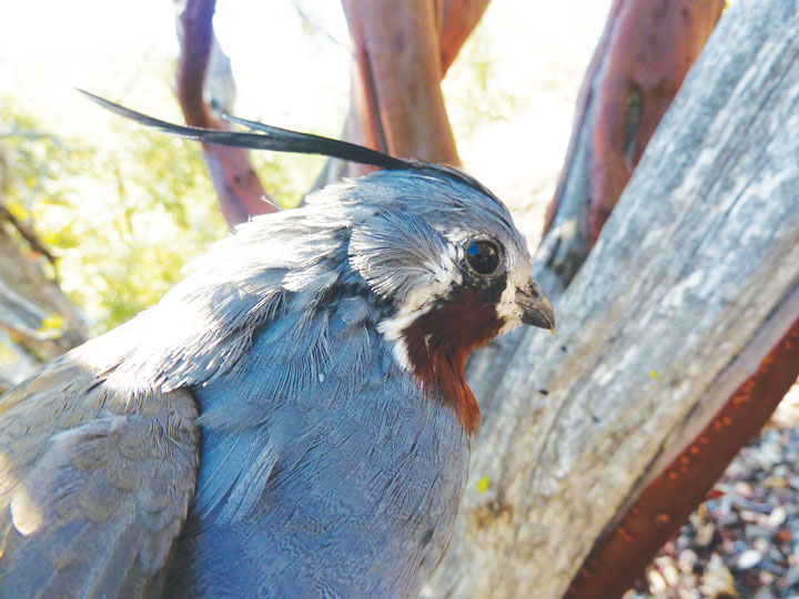 Mountain quail will be the topic of Dr. Jennifer Gee's talk Thursday as part of the Idyllwild Community Center's speaker series. Gee is director of the University of California's James Reserve in the San Jacinto Mountains.        Photos courtesy of Jennifer Gee