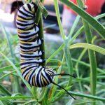 PHOTOS: Monarchs …
