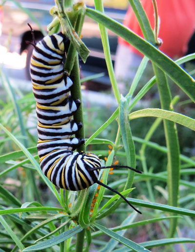 Monarch caterpillars feed on the milkweed plants at the Pine Cove Water District building. Monarch butterflies go through four stages during one life cycle and through four generations or life cycles in one year. The four stages of the monarch butterfly life cycle are the egg, the larvae (caterpillar), the pupa (chrysalis) and the adult butterfly. The Monarch can produce four generations, or four different butterflies, which each pass through these four stages during one year. The fourth generation of monarch butterflies does not die after two to six weeks; instead, this generation migrates to warmer climates such as Mexico and California. This generation will live for six to eight months until it is time to start the whole process over again. Photo by Doris Lombard