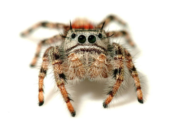"""Spiders, their skills and benefits, will be the subject of next week's Idyllwild Community Center's Speaker Series. Shown is a jumping spider, Phidippus adumbrates, of which Bryant said, """"It's cute. I've tried to find other words, but this one is very cute."""" Photo courtesy Peter Bryant"""