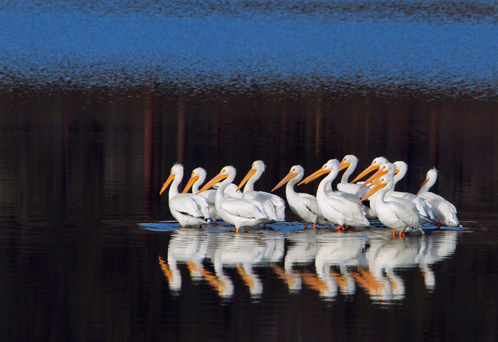 This flock of pelicans was photographed at Lake Hemet. Photo by John Drake