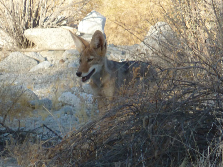 A coyote pup at Deep Canyon in Palm Desert near the Living Desert. Photo by Dr. Jennifer Gee