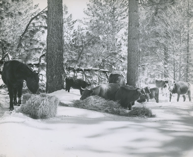 This early 1949 scene shows a cold winter at Fleming Ranch in Garner Valley. A tree split the barn so baled hay was brought out to feed the livestock.         File photo