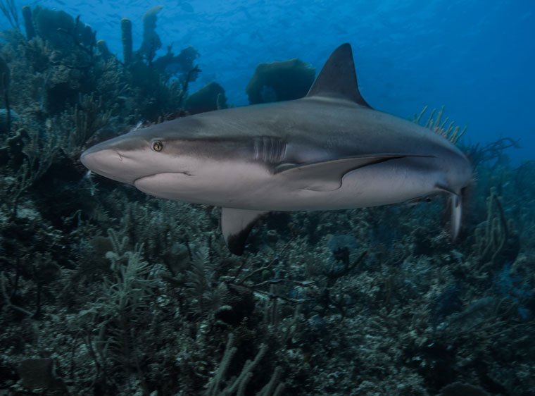A Cuban Blacktrip Shark, photographed by Erin O'Neill during her recent trip to Cuba with the Women Divers Hall of Fame. Photo courtesy Erin O'Neill