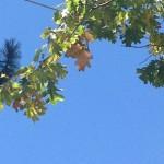 More oaks succumb to drought due to oak borer