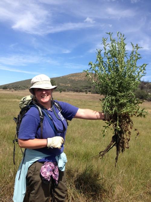 Lareina VanSant holds a decapitated bull thistle plant. Photo courtesy Debra L. Nelson,San Jacinto Ranger District botanist for the San Bernardino National Forest