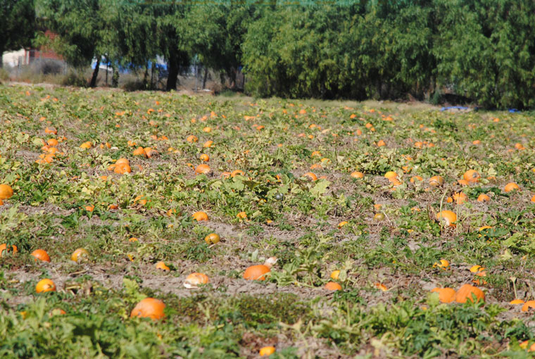 A Hemet pumpkin field sets the scene for October and Halloween. Photo by JP Crumrine