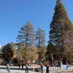 Supervisor supports Soroptimists saving sequoia