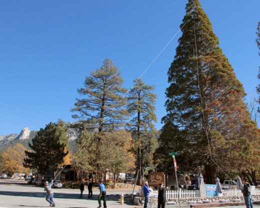 On Tuesday, Nov. 17, Phyllis Mueller and her crew began installing the 5,000 lights that will adorn the giant Sequoia tree in the center of town. The 55th Annual Tree Lighting Ceremony and day long festivities will be held Saturday, Nov. 28 starting at 10 a.m. Santa and Mrs. Claus will be on hand from 1 p.m. to 3 p.m. Photo by John Drake