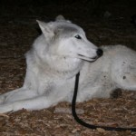 Wolves in Idyllwild on Friday the 13th
