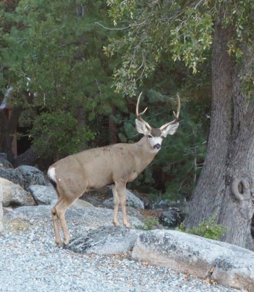 A magnificent buck graced Tom and Karen Higgins with his presence in their front yard in Fern Valley a few days ago.Photo by Karen Higgins