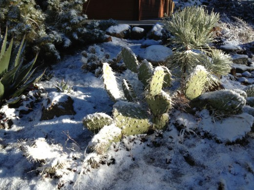 On Christmas morning, the cacti in front of the Idyllwild Ranger Station were covered in snow. Photo by JP Crumrine