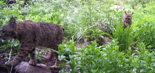 A mother bobcat and her kitten captured on one of the Idyllwild cameras. Image courtesy John Laundré