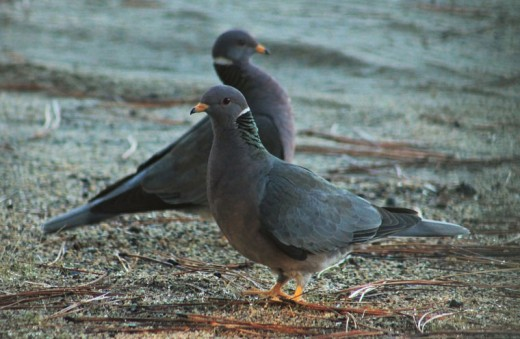 """These two band-tailed pigeons were seen last Wednesday morning in Mountain Center. """"My bird book as of 2009 states that they are declining,"""" wrote the photographer. Photo by Bethany Pulliam"""