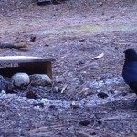 Journal from the James: More of what's wild in Idyllwild: Crows & ravens …