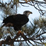 14 Bald eagles spotted in San Bernardino National Forest: Two adults at Lake Hemet