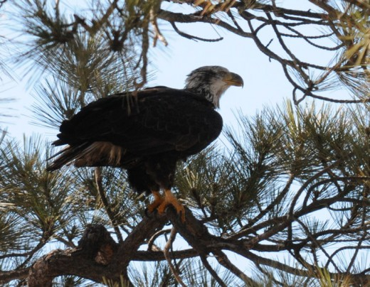 A 4-year-old bald eagle seen at Big Bear Lake last weekend. Bald eagles acquire the full white head and tail in their fifth year. Until then, they are have different plumages of brown and white. Photo by Robin Eliason,