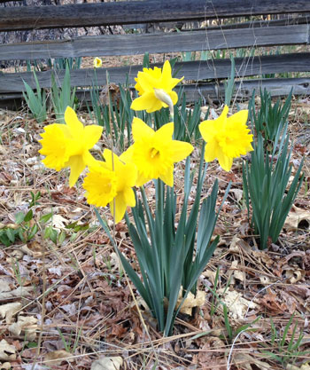 February 2016 was warm and dry. These daffodils were blooming on Lower Pine Crest Avenue. Photo by JP Crumrine