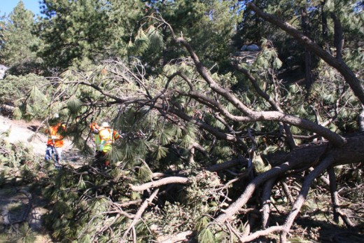 Monday morning, along Highway 243 near Jameson Drive, Caltrans workers were cutting up a large pine tree that cracked in two during the large January snowstorm. Photo by becky clark