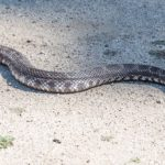 Coexisting with rattlesnakes and avoiding a painful experience