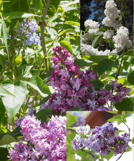 The Idyllwild Garden Club  sponsored a Lilac Tea and Walk with displays by Art Alliance of Idyllwild Artists on Saturday, April 23, in Gary Parton's Alpenglow Lilac Garden in Fern Valley. The garden center was ringed by a variety of lilacs and many more were scattered throughout the rest of the property.  Photo by  Tom Kluzak