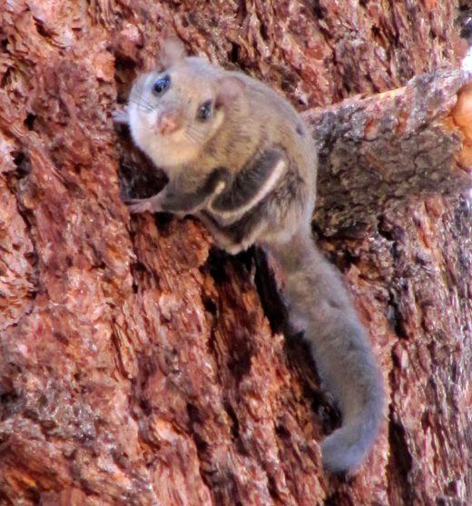San Bernardino flying squirrel. Photo courtesy U.S. Forest Service