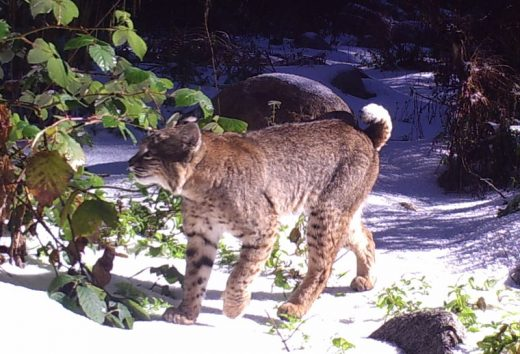 This photogenic bobcat made many appearances on this local camera. Photo courtesy James Reserve