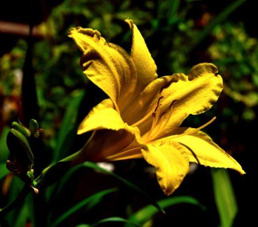 A lily, not a lemon lily. Photo by Tom Pierce
