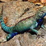 Lizard diet may be causing toxic snake venom