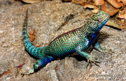 Lizard diet may be causing toxic snake venom • Idyllwild Town Crier