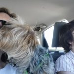 A wayward Yorkie gets a ride home