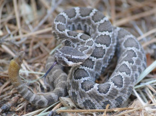 In June 2014, Wildlife Biologist Todd Hoggan brought this young Southern Pacific rattlesnake to the Town Crier Office. Hoggan wanted to provide reporters with an up-close look at the snake that was causing concern in the community that year, too. Hoggan believed the snake to be 8 months old.Photo by JP Crumrine