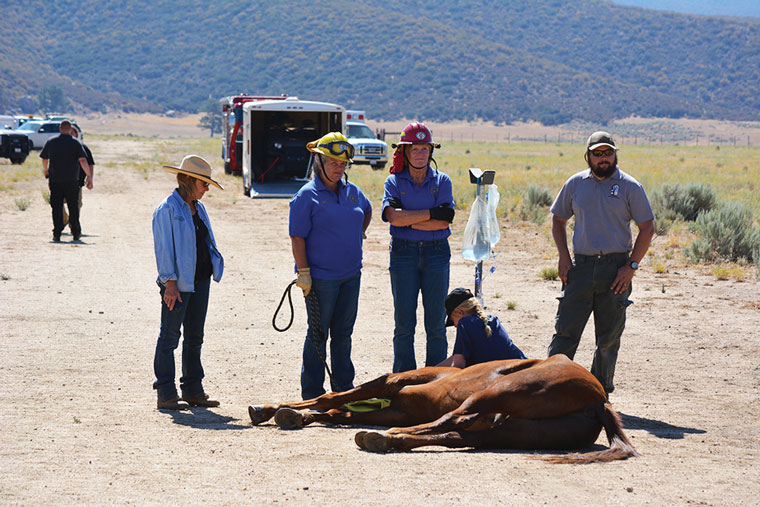 Cal Fire, Riverside County Fire Department, the U.S. Forest Service, the Riverside County Sheriff's Department and members of the Horse & Animal Rescue Team coordinated the rescue and recovery of a Forest Service volunteer's horse who slid down a steep ravine in the Apple Canyon area. The horse is shown above, still sedated after it was airlifted (see photo below).  Photos courtesy Riverside County Animal Services