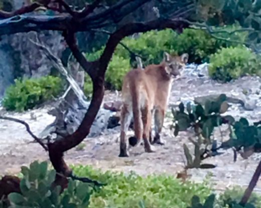 Pauline Dishman photographed this mountain lion from the back of her home on Chipmunk Drive last Wednesday morning. There was a cub, too, she said, of which she did not manage to get a picture.Photo by Pauline Dishman