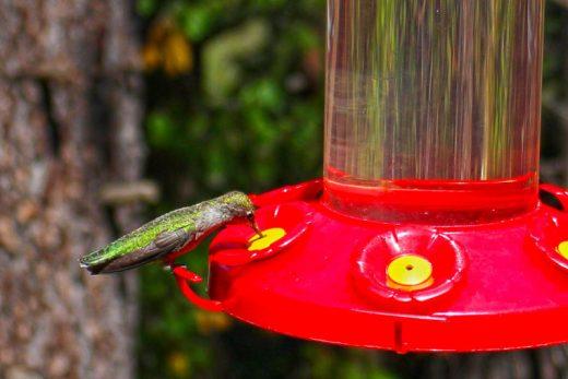 A female Anna's hummingbird. Photoby Bruce Edward Watts