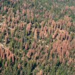 Drought with bark beetles has taken grave toll on state forests