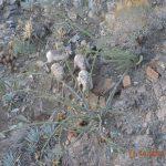 Bighorn sheep population improving