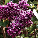 International Lilac Society to visit Idyllwild