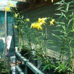 Progress made on restoring native Lemon Lilies