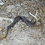 Unusual rattlesnake 'dance' observed on trail