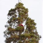 Idyllwild's Christmas sequoia showing new growth