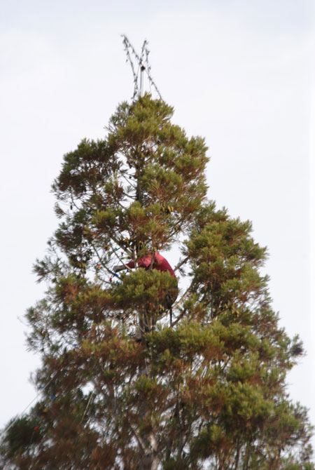 High in the Idyllwild Christmas Tree, near the star and attaching strings  of lights was Jose Flores. The annual Christmas Tree Lighting Ceremony will  be ... - Idyllwild's Christmas Sequoia Showing New Growth €� Idyllwild Town Crier