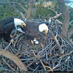 Bald eagle count Jan. 13