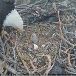 Bald eagle chicks hatch at Big Bear Lake