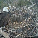 Two adult eagles still call Lake Hemet home