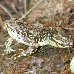 Mountain yellow-legged frog not forgotten